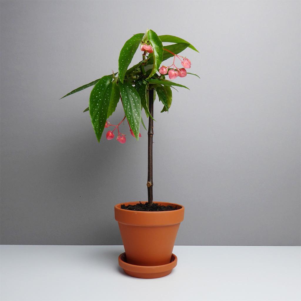 Pflanze Begonia Bambus Online Kaufen The Botanical Room