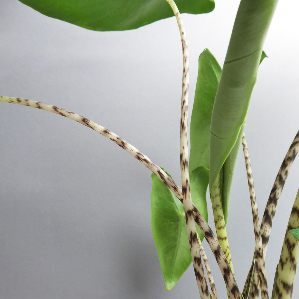 Pflanze Alocasia Zebrina Online Kaufen The Botanical Room