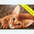 Abyssinian Cat - Diamond Painting pakket - Diamond Art Pakket met vierkante diamantjes