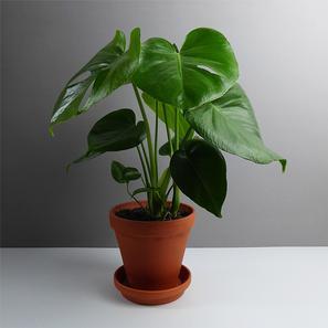 the botanical room moderne pflanzen accessoires online. Black Bedroom Furniture Sets. Home Design Ideas