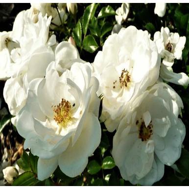 rosen kordes beetrose innocencia adr rose a qualit t premium rosen reinwei beetrosen. Black Bedroom Furniture Sets. Home Design Ideas