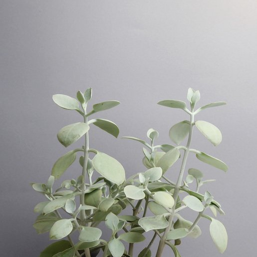 Sukkulente, Kalanchoe kaufen - The Botanical Room