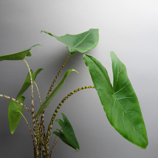Alocasia zebrina - The Botanical Room