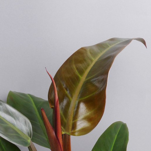 philodendron-imperial-red- The Botanical room